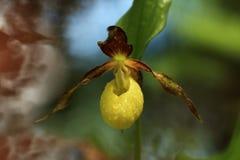 De bloem Deze orchidee wordt gevonden in de Tsjechische Republiek bij ongeveer 100 plaatsen Stock Afbeelding