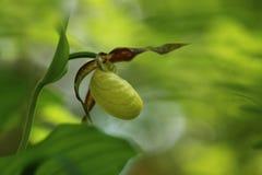 De bloem Deze orchidee wordt gevonden in de Tsjechische Republiek bij ongeveer 100 plaatsen Royalty-vrije Stock Fotografie