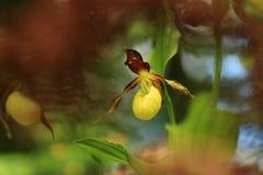 De bloem Deze orchidee wordt gevonden in de Tsjechische Republiek bij ongeveer 100 plaatsen Stock Foto's