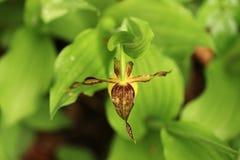 De bloem Deze orchidee wordt gevonden in de Tsjechische Republiek bij ongeveer 100 plaatsen Royalty-vrije Stock Foto's