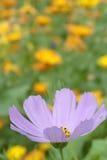 De bloem dichte omhooggaand van de kosmos Royalty-vrije Stock Foto's
