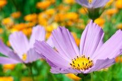 De bloem dichte omhooggaand van de kosmos Stock Afbeeldingen