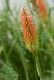 De bloem dichte omhooggaand van de toortslelie Stock Foto's