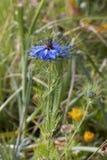 De bloem dichte omhooggaand van Nigella Royalty-vrije Stock Afbeeldingen