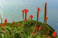 De bloem die van aloëvera dichtbij de oceaan op het Eiland Madera bloeien Stock Afbeelding