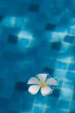 De bloem die van Frangipani in blauw water drijft Stock Afbeeldingen