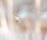 De bloem die van het Dandiliongras wanneer de wijnoogst van de windslag vliegen Stock Foto's