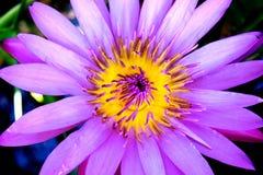 De bloem en de bladeren van Lotus Stock Foto