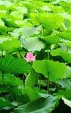 De bloem en de bladeren van Lotus Royalty-vrije Stock Fotografie