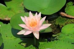 De bloem en de kikker van Lotus Stock Foto's