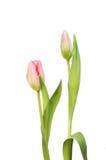 De bloem en de knop van de tulp royalty-vrije stock afbeeldingen