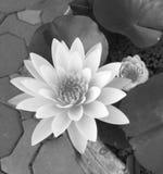 De bloem en de knop van Lotus in vijver Stock Afbeelding