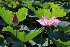 De bloem en de knoppen van Lotus Stock Fotografie