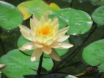De bloem en de stootkussens van de waterlelie stock foto's