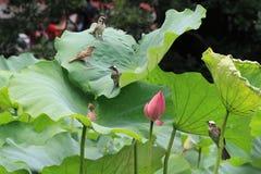 De bloem en de vogels van Lotus Stock Afbeelding