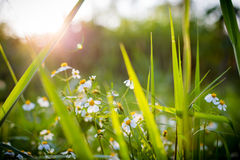 De bloem en de Zonsondergang van het gras Stock Fotografie