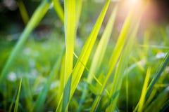 De bloem en de Zonsondergang van het gras Stock Foto