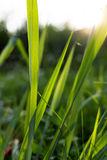 De bloem en de Zonsondergang van het gras Royalty-vrije Stock Fotografie