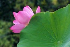 De bloem en het blad van Lotus Royalty-vrije Stock Fotografie