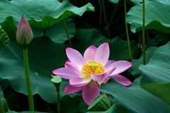 De bloem en nelumbinis van Lotus stock fotografie