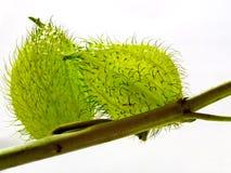 De bloem/het fruit van Esclepias Stock Afbeeldingen