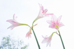 De bloem Hippeastrum kijkt als een leliewit met roze strepen pl Stock Fotografie