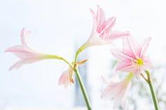De bloem Hippeastrum kijkt als een leliewit met roze strepen pl Stock Foto