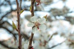 De bloem kwam abrikozen tot bloei Royalty-vrije Stock Foto's