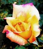 De bloem nam toe Stock Fotografie