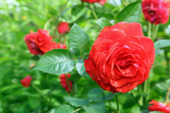 De bloem nam in tuin toe Royalty-vrije Stock Afbeelding