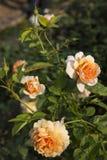De bloem nam in tuin toe Stock Foto's