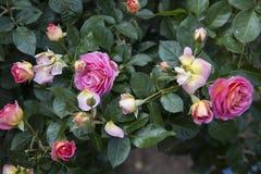 De bloem nam in tuin toe Royalty-vrije Stock Foto's