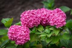 de bloem ontluikt roze hydrangea hortensia royalty-vrije stock foto