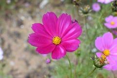 De bloem pingelt binnen & Purple royalty-vrije stock fotografie