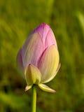 De bloem, roze lotusbloem Stock Foto