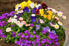 De bloem in de tuin glanste bij zon kleurrijk geel blauw violet wit stock fotografie