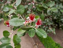 De bloem van Accasellowiana Stock Fotografie