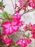 De bloem van Adeniumobesum Stock Afbeelding
