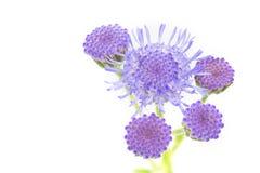 De bloem van Ageratumhoustonianum, Macroschot stock fotografie