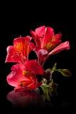 De bloem van Alstroemeria Stock Afbeeldingen