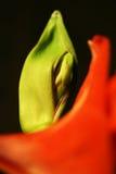 De bloem van Amarillis Stock Foto's