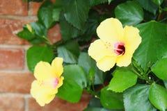 De bloem van Amaryliss Stock Foto