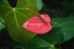 De bloem van Anturio stock foto's
