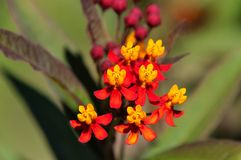 De bloem van Asclepiascurassavica Royalty-vrije Stock Foto
