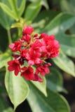 De bloem van Batavia Stock Foto's