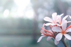 De bloem van Beautyfulplumeria op aardachtergrond royalty-vrije stock afbeelding