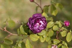 De bloem van Belle de Crecy nam toe stock foto's