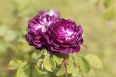 De bloem van Belle de Crecy nam toe royalty-vrije stock fotografie