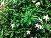 De bloem van Benth van Wrightiareligiosa Stock Afbeelding
