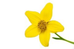 De bloem van Bidens Royalty-vrije Stock Foto's
